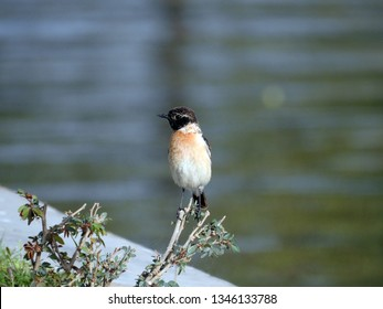 The Siberian stonechat or Asian stonechat (Saxicola maurus)