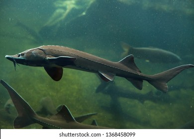Siberian sturgeon (Acipenser baerii). Freshwater fish.