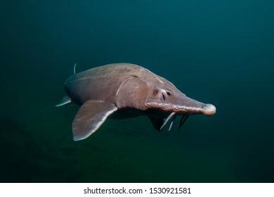 Siberian sturgeon in nature environment