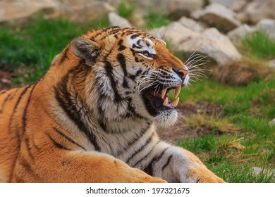 Siberian tiger with bared teeth