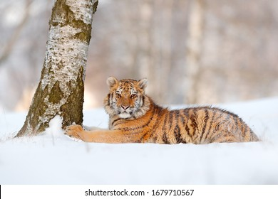 Siberian tiger with birvh tree in forest.  Cold winter in taiga, Russia. Snowflakes with wild cat. Tiger in wild winter nature, running in the snow.