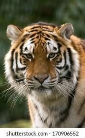 Siberian Tiger close up of head