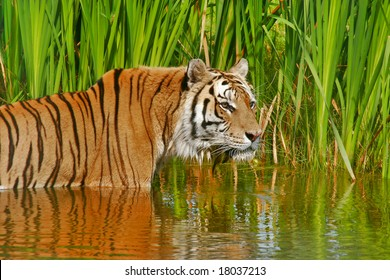 Siberian Tiger cooling down in the water