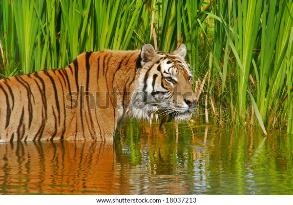 siberian-tiger-cooling-down-water-600w-1