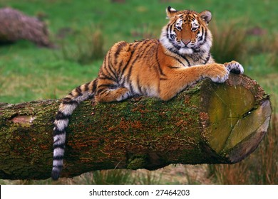 Siberian tiger cub laying on a tree in front of a green field