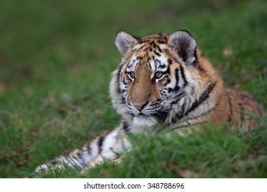 Siberian Tiger Cub resting in long green grass/Tiger Cub/Siberian Tiger Cub (Panthera Tigris Altaica)