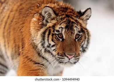 Siberian tiger in detail portrait