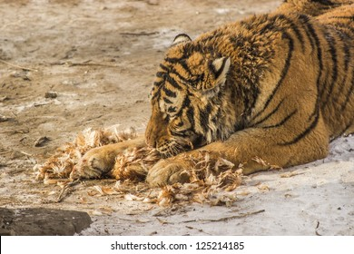 A Siberian tiger eating a chicken at the Siberian Tiger Reserve in Harbin China