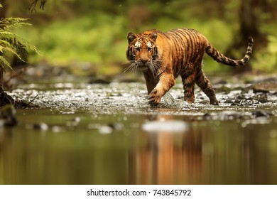 Siberian tiger is entering to water creek
