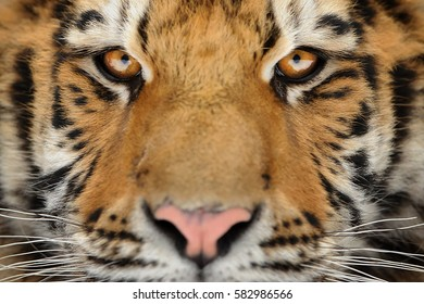 Siberian tiger face detail. Aggressive stare look meaning danger for the prey. Closeup view to angry  expression.