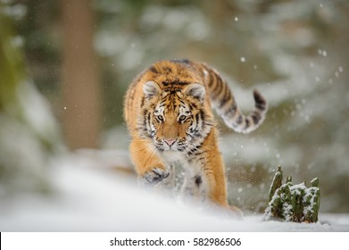 Siberian tiger from front view, runing to hunt down prey in winter on snow.