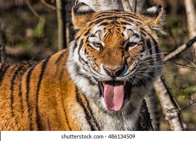 Siberian tiger with funny mocking face