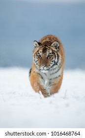 Siberian tiger  goes towards us