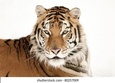 Siberian tiger head shot