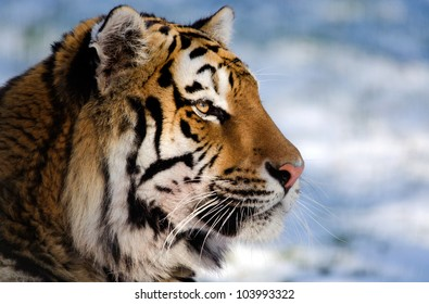 Siberian tiger head and shoulders profile against a snow background