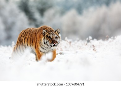 Siberian tiger is hunting in the snowy forest