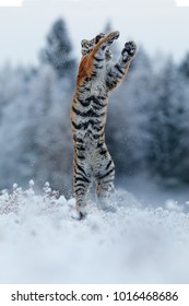 Siberian tiger jumped high into the air above the snow