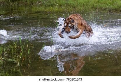 Siberian Tiger Juvenile