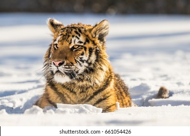 Siberian Tiger laying in snow. Beautiful and powerful photo of this majestic animal. Set in environment typical for this amazing animal. Birches, snow and meadows.