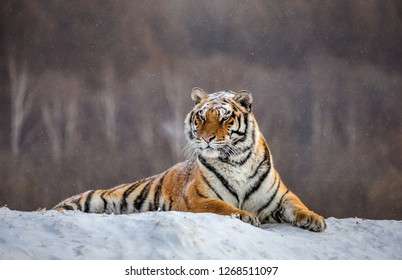 Siberian tiger lying on a snow-covered hill. Portrait against the winter forest. China. Harbin. Mudanjiang province. Hengdaohezi park. Siberian Tiger Park. Winter. Hard frost. (Panthera tgris altaica)