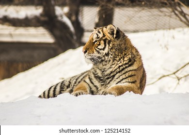 A Siberian Tiger lying in the snow at the Siberian Tiger Reserve in Harbin China