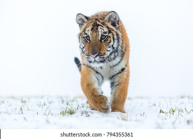 siberian tiger in meadow