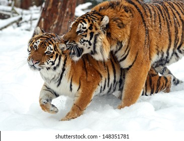 Siberian tiger in its natural habitat