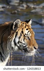 Siberian Tiger near Mountain Stream
