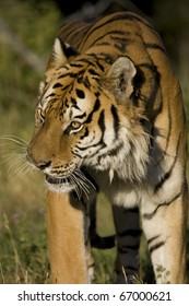 Siberian Tiger on the move