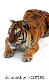 Siberian Tiger on New Snow