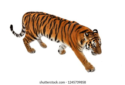 Siberian tiger (P. t. altaica), also known as Amur tiger in winter