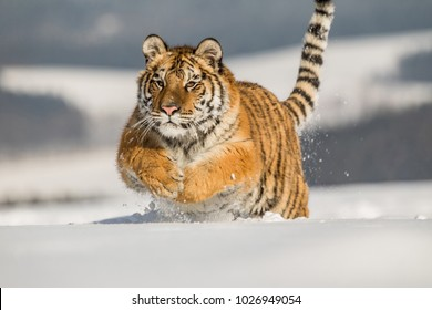 Siberian tiger, Panthera tigris altaica, male with snow in fur. Portrait of Usurian Tiger in a wild winter landscape in sunny day.. A young tiger in wildlife.