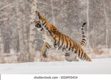Siberian tiger, Panthera tigris altaica, male with snow in fur. The Usurian Tiger in a wild winter landscape attacks the prey. Tiger jumping in a wild landscape.. Attacking predator in action