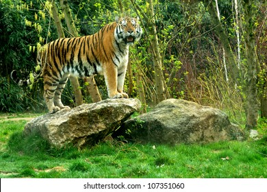 Siberian tiger (Panthera tigris altaica) standing on a rock