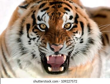 The Siberian tiger (Panthera tigris altaica) close up portrait.