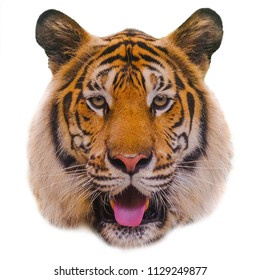 Siberian tiger (Panthera tigris altaica), on a white background.
