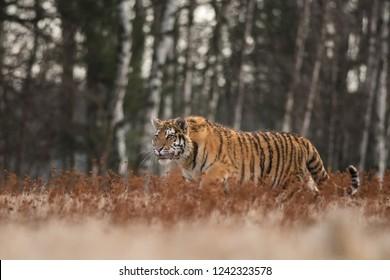 Siberian tiger, Panthera tigris altaica, environment, nature, close up