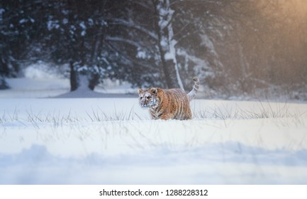 Siberian tiger, Panthera tigris altaica, young male in snowy, freezing cold, walking in deep snow against winter forest. Tiger in its natural taiga environment, winter. Big cat in snow blizzard.