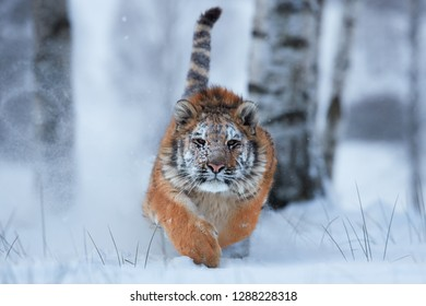 Siberian tiger, Panthera tigris altaica, young male running directly at camera in deep snow. Attacking predator in action. Taiga environment, snowy, freezing cold, winter.