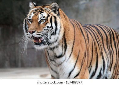 A Siberian tiger (Panthera tigris altaica) standing with his mouth open