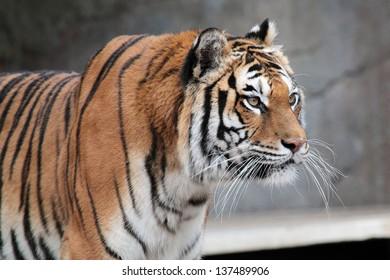 A Siberian tiger (Panthera tigris altaica) staring at something