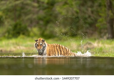 Siberian tiger, Panthera tigris altaica, low angle photo in direct view, running in the water directly at camera with water splashing around. Attacking predator in action. Tiger in taiga environment,