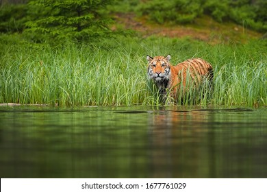 Siberian tiger, Panthera tigris altaica, preparing for crossing forest lake. Tiger on lake shore, looking from green grass above water surface. Tiger in taiga environment.
