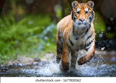 Siberian tiger, Panthera tigris altaica, running in forest stream directly to the camera, splashing water around. Tiger in taiga environment, low angle, photo with direct view. Tiger cat in action.