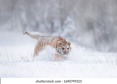 Siberian tiger, Panthera tigris altaica. Action wildlife scene with dangerous animal. Cold winter in taiga, Russia. Snow flakes with wild Amur cat.
