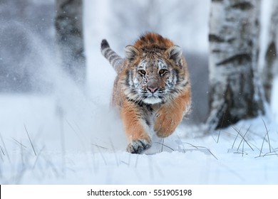 Siberian tiger, Panthera tigris altaica, male with snow in fur, running directly at camera in deep snow. Attacking predator in action. Taiga environment, freezing cold, winter.