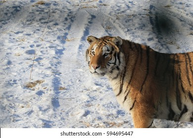 The Siberian tiger (Panthera tigris altaica), also called Amur tiger is a tiger subspecies inhabiting mainly the Sikhote Alin mountain region with a small population in southwest Primorye Province.