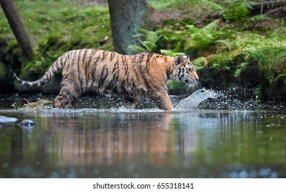 Siberian tiger, Panthera tigris altaica walking in water, low angle photo, side view. Tiger crossing forest stream, mirroring itself in the water. Siberian tiger in typical taiga spruce environment.