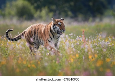 Siberian tiger, Panthera tigris altaica, running in a colorful, blooming spring meadow,  low angle photo. Close up tiger in taiga environment.