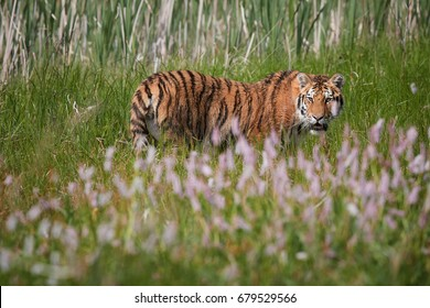 Siberian tiger, Panthera tigris altaica, low angle photo, tiger in a colorful, blooming spring meadow against reeds in background.  Tiger in natural taiga environment.